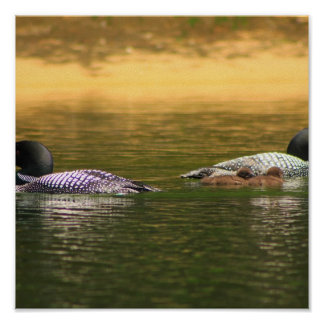 Common Loon Pair with Chicks Print