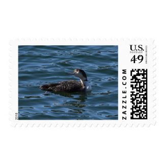 Common Loon Postage Stamps