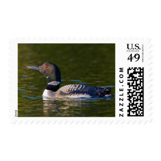 Common Loon Swimming Postage