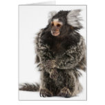Common Marmoset - Callithrix jacchus (2 years Card