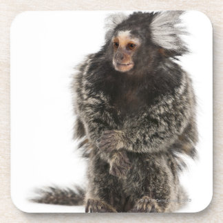 Common Marmoset - Callithrix jacchus (2 years Coaster