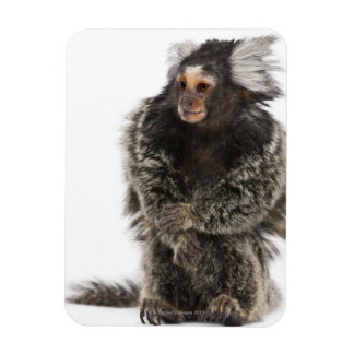 Common Marmoset - Callithrix jacchus (2 years Magnet