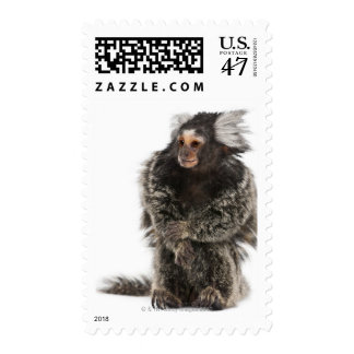 Common Marmoset - Callithrix jacchus (2 years Postage