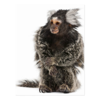 Common Marmoset - Callithrix jacchus (2 years Postcard
