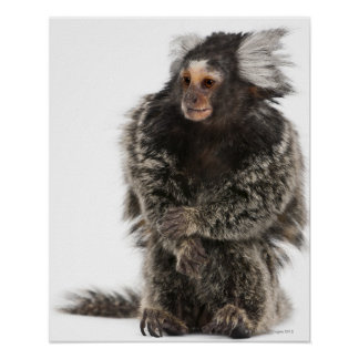 Common Marmoset - Callithrix jacchus (2 years Poster