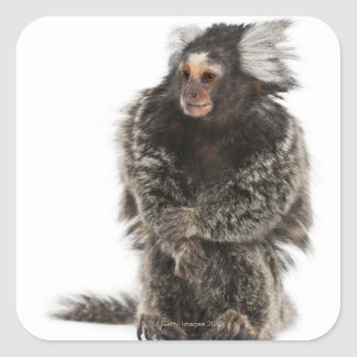 Common Marmoset - Callithrix jacchus (2 years Square Sticker