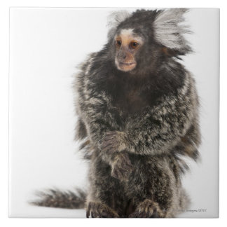 Common Marmoset - Callithrix jacchus (2 years Tile