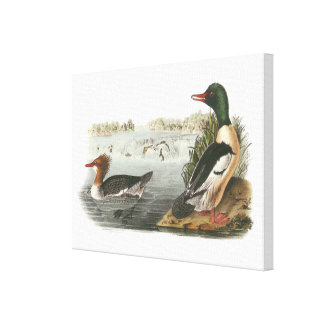 Common Merganser by Audubon Stretched Canvas Print