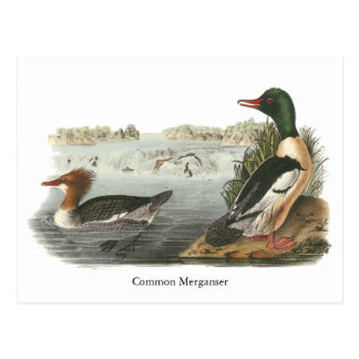 Common Merganser, John Audubon Postcard