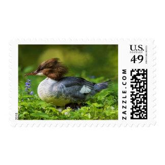 Common Merganser On Chicks Postage