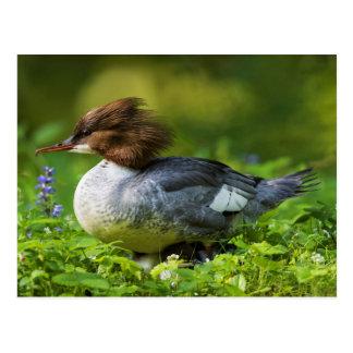 Common Merganser On Chicks Postcard