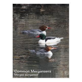 Common Merganser Postcard