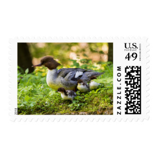Common Merganser With Chicks Postage