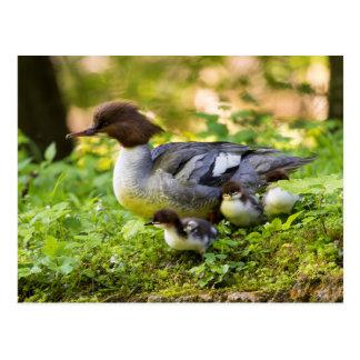 Common Merganser With Chicks Postcard