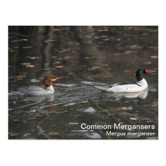 Common Mergansers Postcard