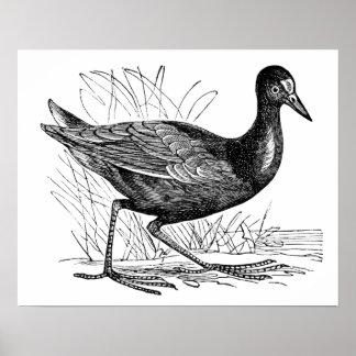 Common Moorhen Print