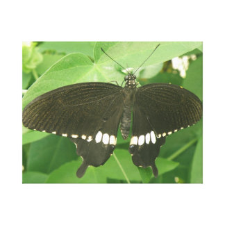 Common Mormon Butterfly Canvas Print