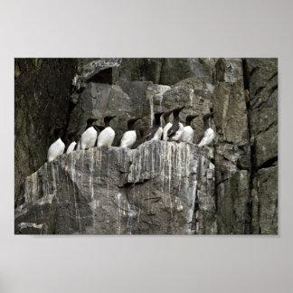 Common Murres, Castle Rock, Shumagin Islands Poster