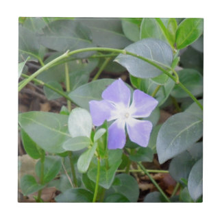 Common Periwinkle, Vinca Minor, on Roadside Tile