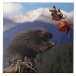 Common porcupine eating Alaskan high brush Ceramic Tile