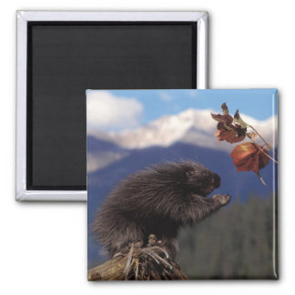 Common porcupine eating Alaskan high brush 2 Inch Square Magnet