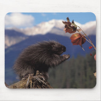 Common porcupine eating Alaskan high brush Mouse Pad
