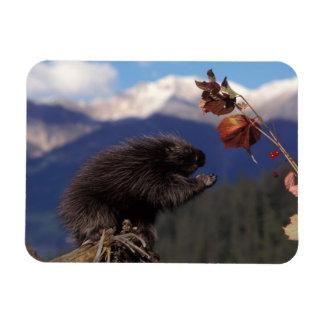 Common porcupine eating Alaskan high brush Rectangular Photo Magnet