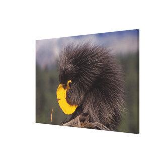 common porcupine, Erethizon dorsatum, baby Canvas Print