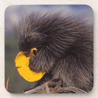 common porcupine Erethizon dorsatum baby Coaster