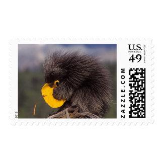 common porcupine, Erethizon dorsatum, baby Stamps