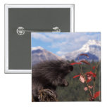 Common porcupine feeding on high brush cranberry pinback button