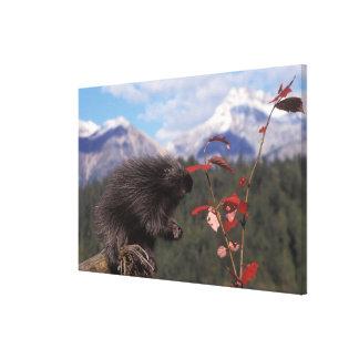 Common porcupine feeding on high brush cranberry canvas print