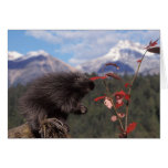 Common porcupine feeding on high brush cranberry card