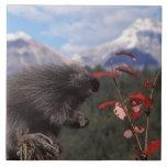 Common porcupine feeding on high brush cranberry ceramic tile