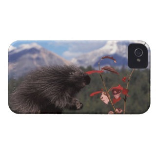 Common porcupine feeding on high brush cranberry iPhone 4 cover