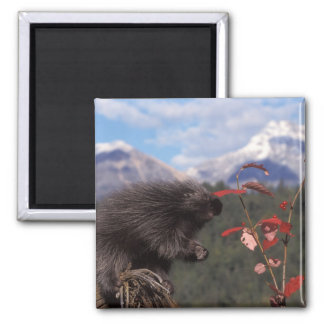 Common porcupine feeding on high brush cranberry fridge magnets