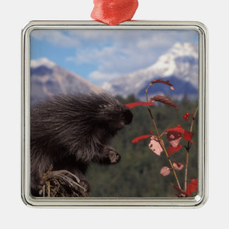 Common porcupine feeding on high brush cranberry metal ornament
