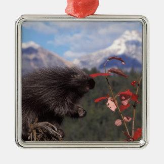 Common porcupine feeding on high brush cranberry metal ornament