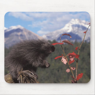 Common porcupine feeding on high brush cranberry mouse pad