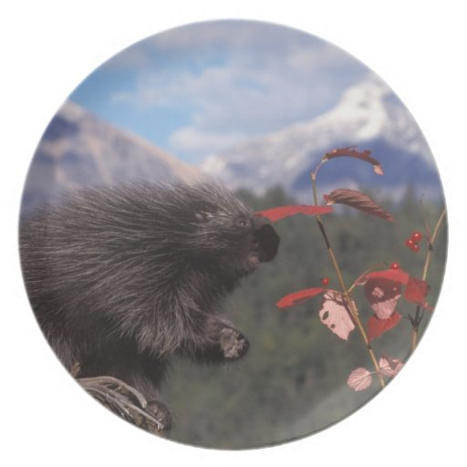 Common porcupine feeding on high brush cranberry plate