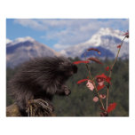 Common porcupine feeding on high brush cranberry poster