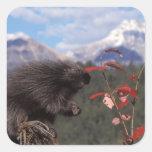 Common porcupine feeding on high brush cranberry square sticker