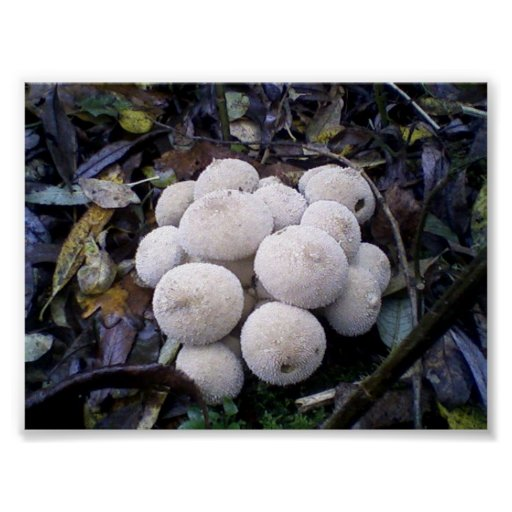 Common Puffball-Lycoperdon perlatum Posters