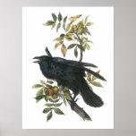 Common Raven by Audubon Poster
