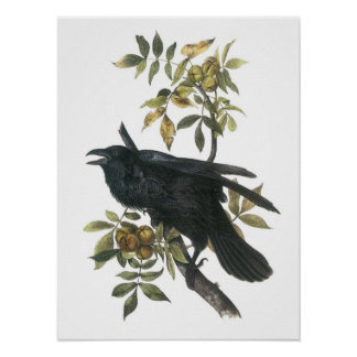 Common Raven by Audubon Poster