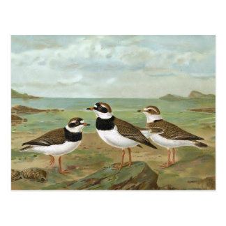 Common Ringed Plover Vintage Bird Illustration Postcard