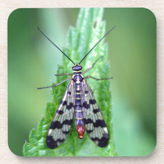 Common Scorpion Fly (Panorpa communis) Drink Coaster