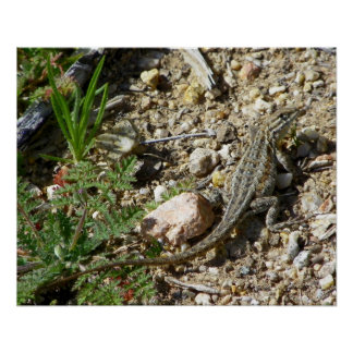 COMMON SIDE-BLOTCHED LIZARD POSTER