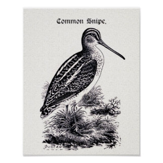 """Common Snipe"" Vintage Illustration Poster"