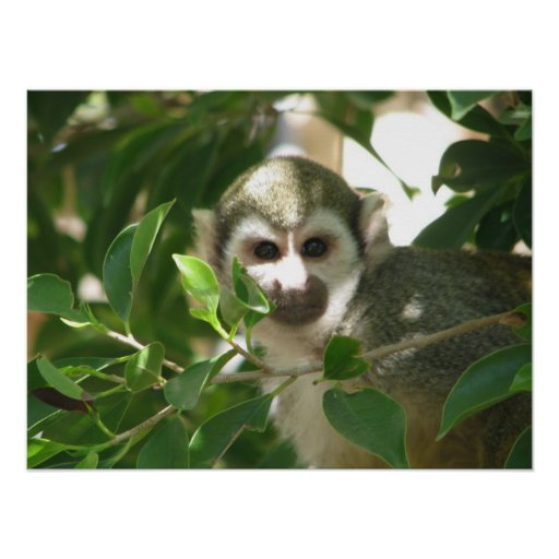 Common Squirrel Monkey Poster